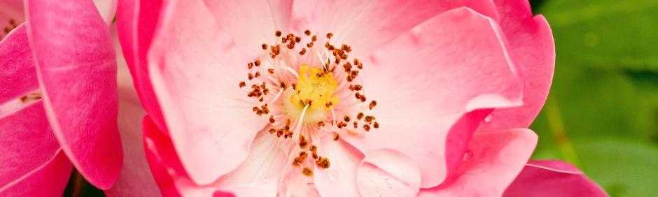Óleo de rosa mosqueta garante saúde e beleza