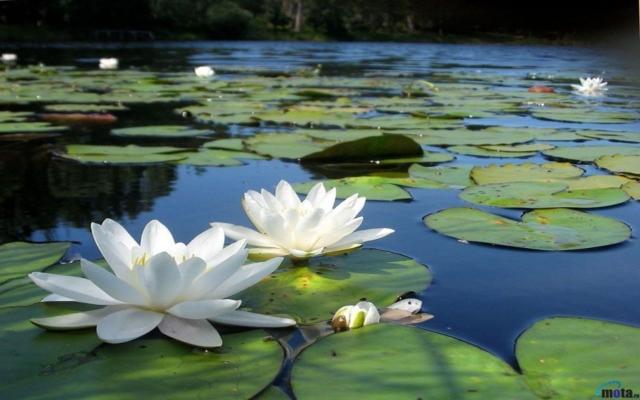 Seja como A Flor de Lótus