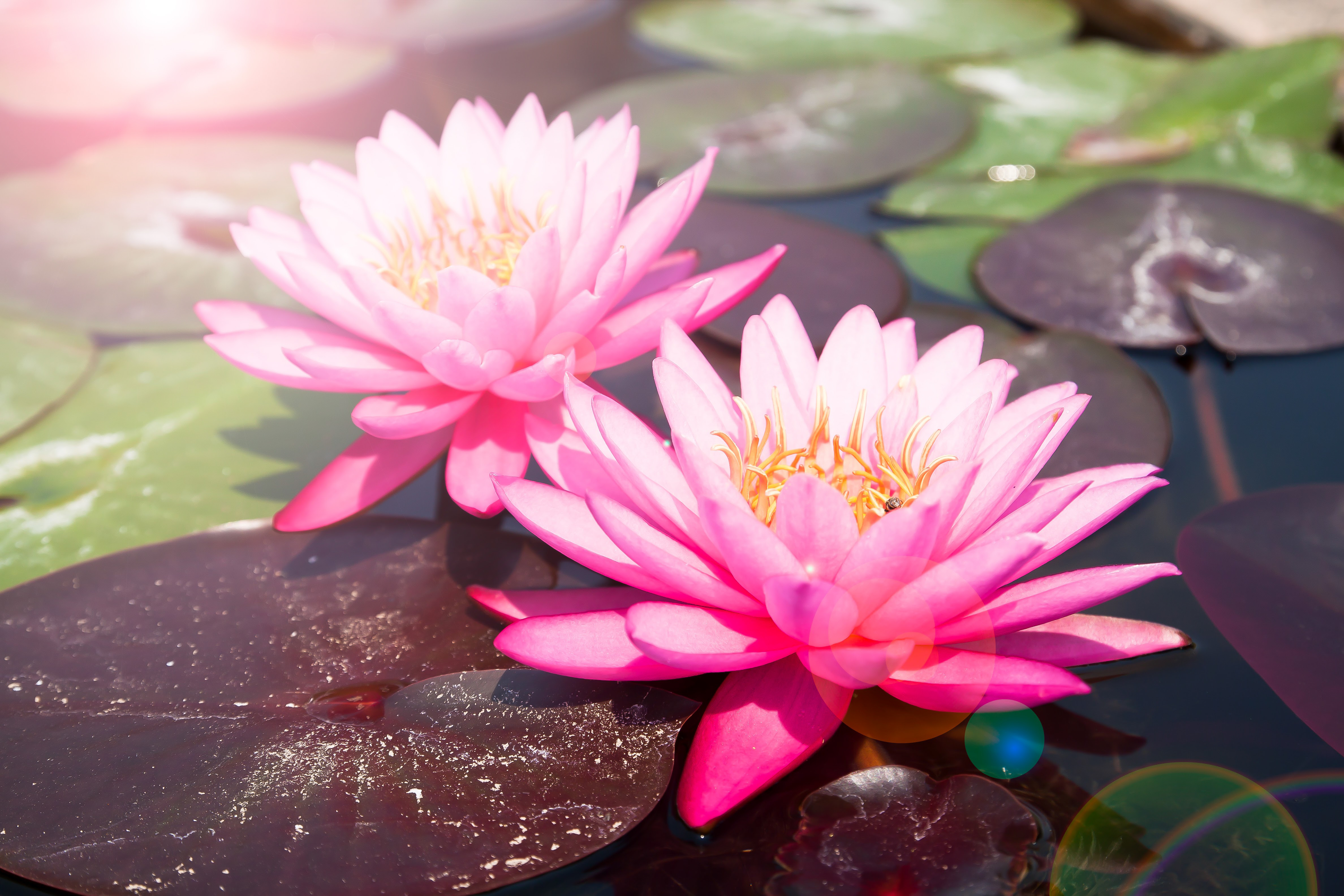 Pink lotus, Beautiful waterlily with sunlight and flare