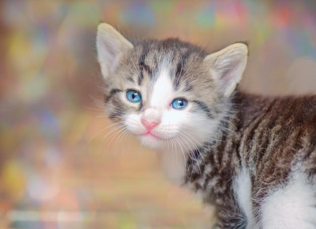 Como tratar pulgas em filhotes de gatos 2
